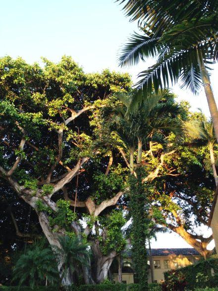 palm and banyan trees