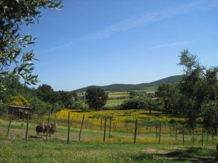 TuscanyOstriches